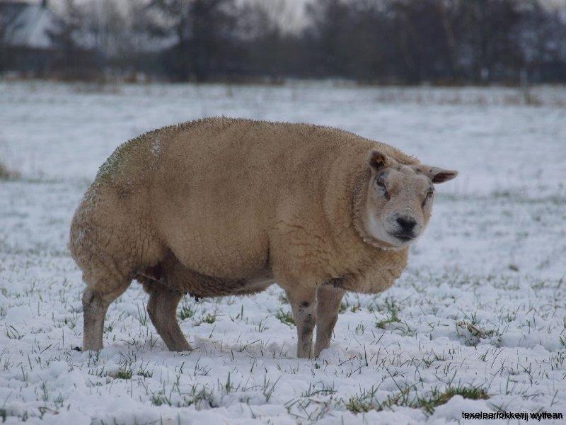 ooien in sneeuw 7december