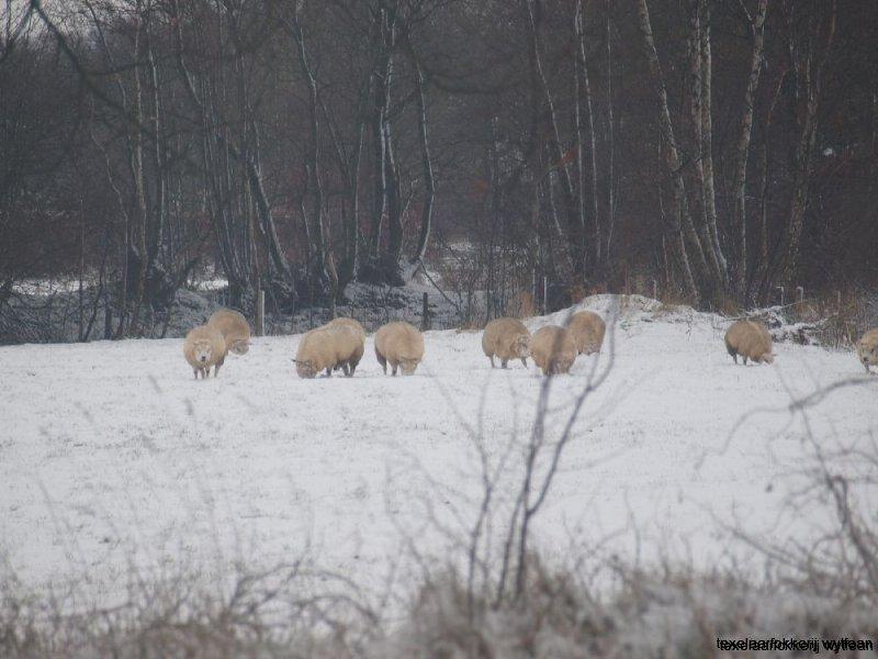 ooien in sneeuw 7  dec  2012